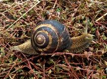 Escargot rampant dans l'herbe Photo stock