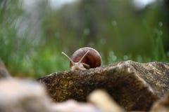 Escargot rampant dans le jardin par la pierre Photographie stock