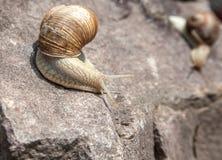 Escargot rampant en bas du plan rapproché Image libre de droits