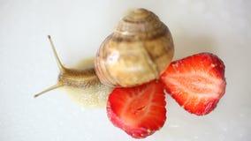 Escargot rampant parmi les fraises sur un blanc banque de vidéos