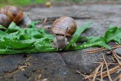 Escargot rampant sur des feuilles de pissenlit Images libres de droits