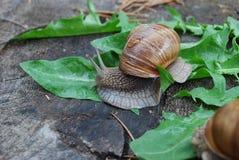 Escargot rampant sur des feuilles de pissenlit Photographie stock