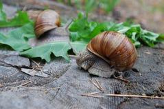 Escargot rampant sur des feuilles de pissenlit Photos stock