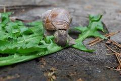 Escargot rampant sur des feuilles de pissenlit Images stock