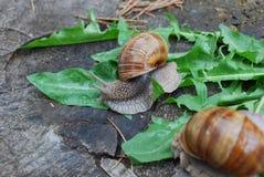 Escargot rampant sur des feuilles de pissenlit Photo libre de droits
