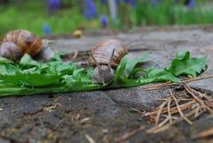 Escargot rampant sur des feuilles de pissenlit Photo stock