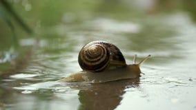 Escargot rampant sur l'usine avec la pluie et le fond vert clips vidéos