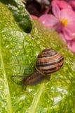 Escargot rampant sur la feuille humide Image stock