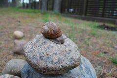 Escargot rampant sur la pierre Photos stock
