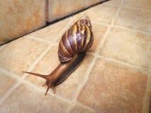 Escargot rampant sur le plancher carrelé photo stock