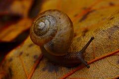 Escargot rampant sur le plancher de forêt Photographie stock libre de droits
