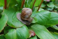 Escargot rampant sur les feuilles vertes Photographie stock