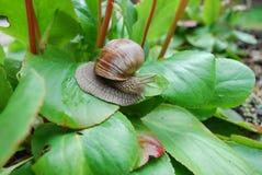 Escargot rampant sur les feuilles vertes Images stock