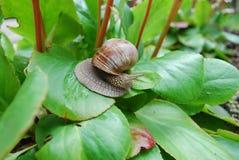 Escargot rampant sur les feuilles vertes Image libre de droits