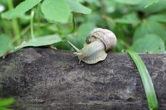 Escargot rampant sur un arbre Photo libre de droits