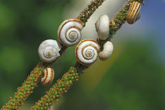 Escargot rampant sur un branchement Photographie stock