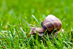 Escargot romain dans l'herbe Photographie stock libre de droits