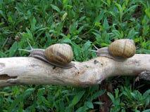 Escargot romain, escargot de Bourgogne, escargot comestible ou escargot, pomatia d'hélice, sur une branche photo libre de droits