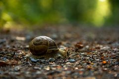 Escargot romain, escargot de terre, escargot de Bourgogne ou escargot image stock