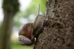 Escargot romain sur la fin d'arbre  Photographie stock libre de droits