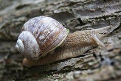 Escargot romain sur la fin d'arbre  Photographie stock