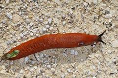 Escargot, rufus d'Arion Photographie stock libre de droits