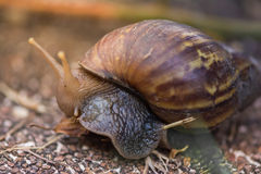 Escargot sauvage Image stock