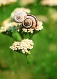 Escargot se reposant sur un deuxième escargot Image stock