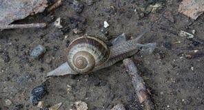 Escargot seul Image stock