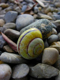 Escargot Shell, Photographie stock