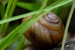 Escargot Shell Behind Grass image stock