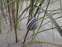Escargot Shell sur l'herbe dunaire 2 photo stock