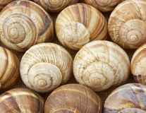 Escargot shells in rows Royalty Free Stock Image