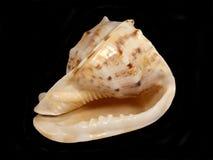 escargot simple Pacifique Image libre de droits