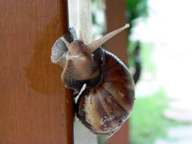 Escargot snail Royalty Free Stock Image