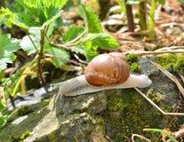 Escargot snail walk Royalty Free Stock Photos