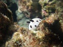 Escargot sous-marin blanc dans le récif Images libres de droits