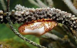Escargot sous-marin de langue de flamant d'espèce marine Images libres de droits