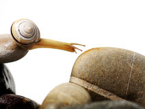 Escargot sur des roches Photo libre de droits