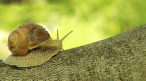 Escargot sur l'arbre Images libres de droits