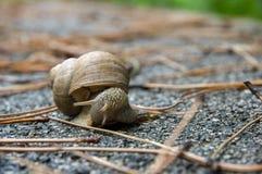 Escargot sur l'asphalte parmi les branches sèches Image stock