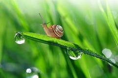 Escargot sur l'herbe couverte de rosée images libres de droits