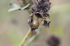 Escargot sur l'herbe sèche Images libres de droits