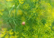 Escargot sur la coriandre photo stock