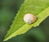 Escargot sur la feuille Photo libre de droits