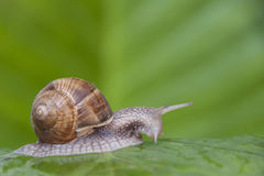 Escargot sur la feuille verte Photos libres de droits