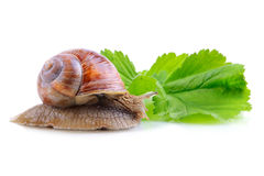 Escargot sur la feuille verte Image stock