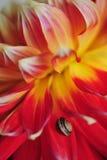 Escargot sur la fleur de dahlia Image stock