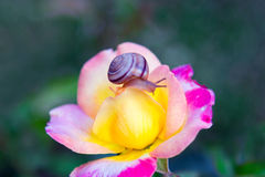 Escargot sur la fleur rose Images stock