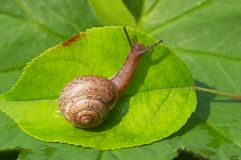Escargot sur la lame verte Image libre de droits